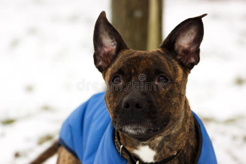 Chien terrier de Staffordshire américain images libres de droits