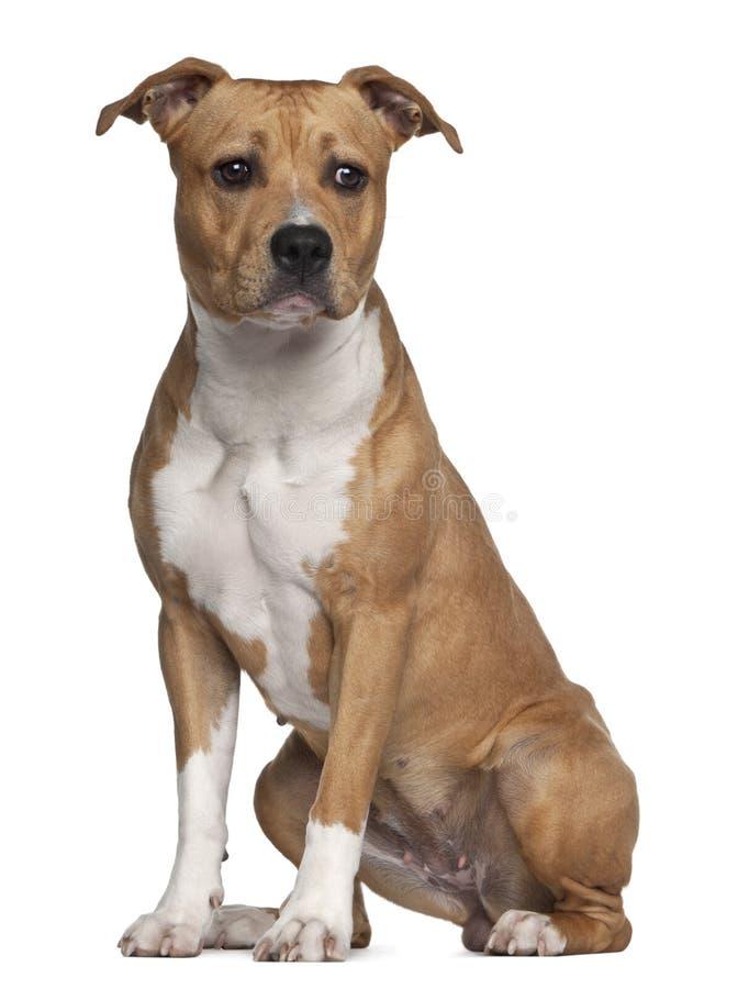 Chien terrier de Staffordshire américain, 8 mois images libres de droits