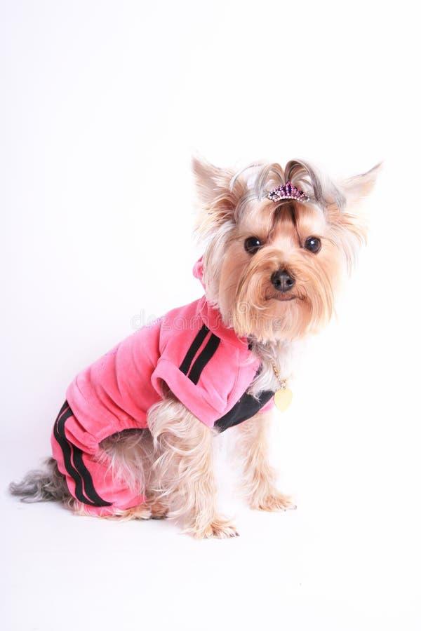 Chien terrier de Yorkshire photo stock