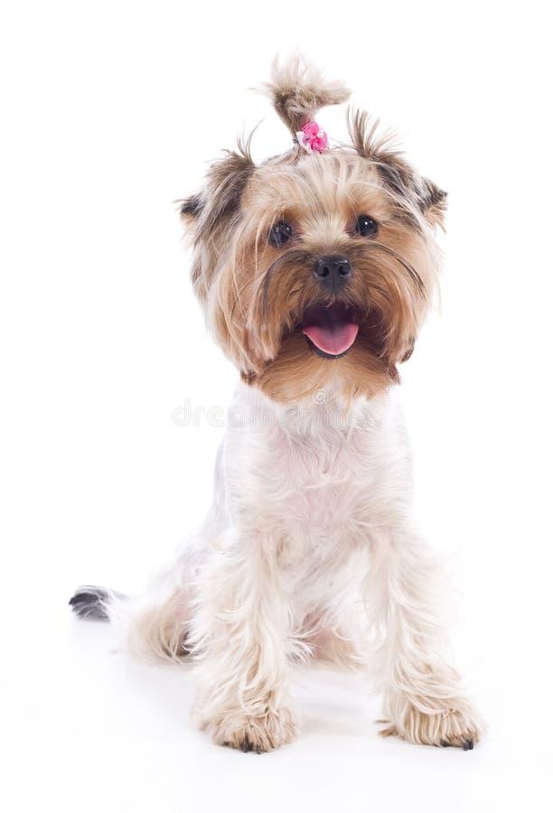 Chien terrier de Yorkshire photographie stock