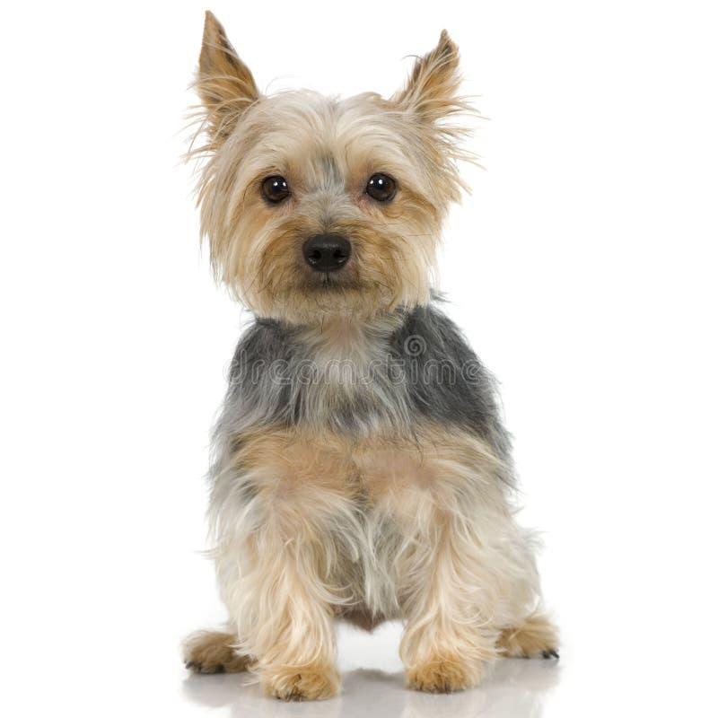 Chien terrier de Yorkshire (3 ans) photos libres de droits