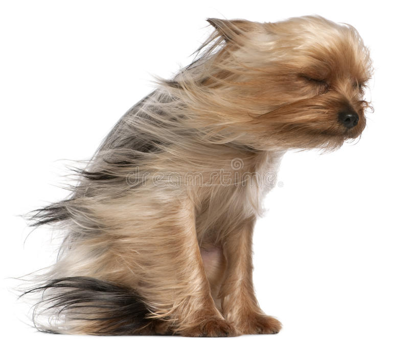 Chien terrier de Yorkshire avec le cheveu dans le vent image libre de droits