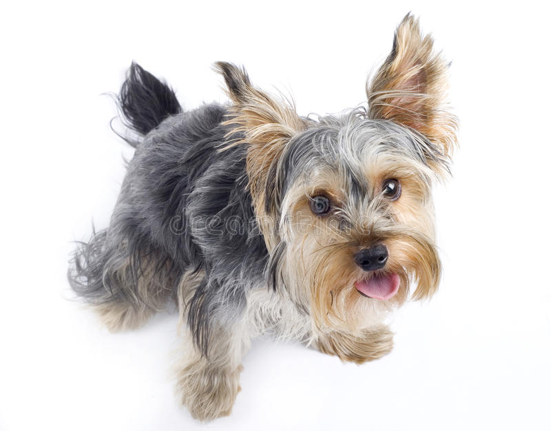 Chien terrier de Yorkshire curieux photos libres de droits
