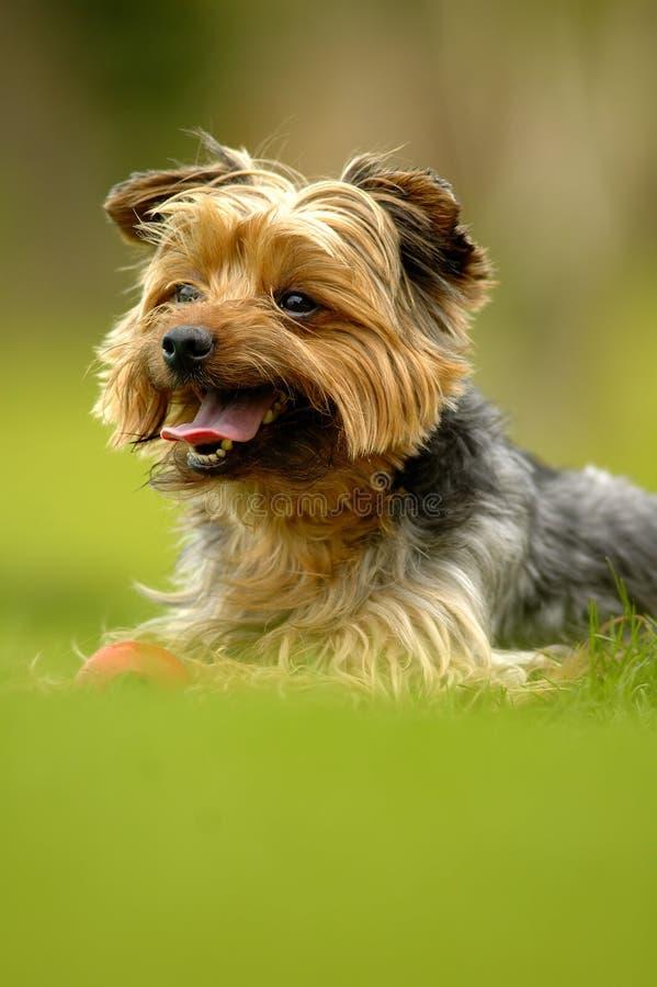 Chien terrier de Yorshire photos libres de droits