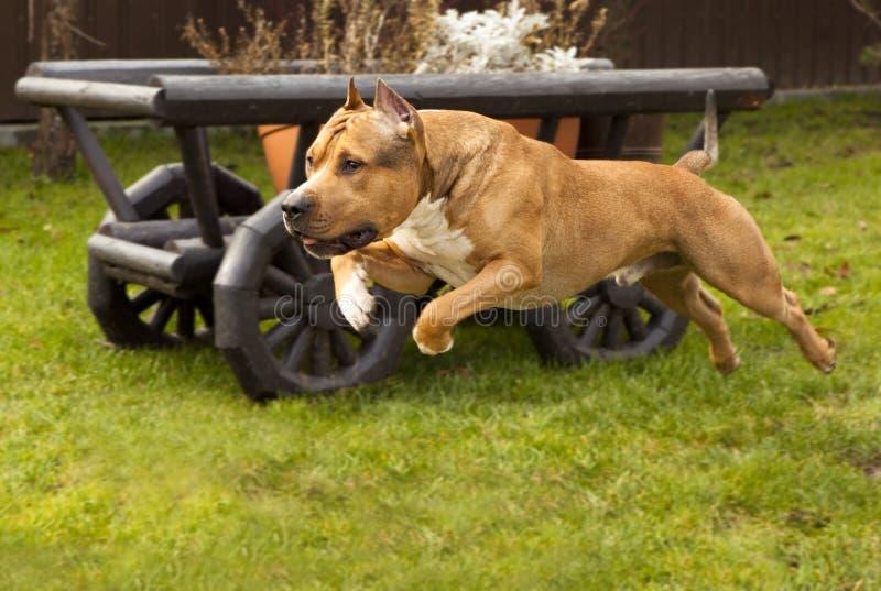 Chien terrier du Staffordshire photo libre de droits