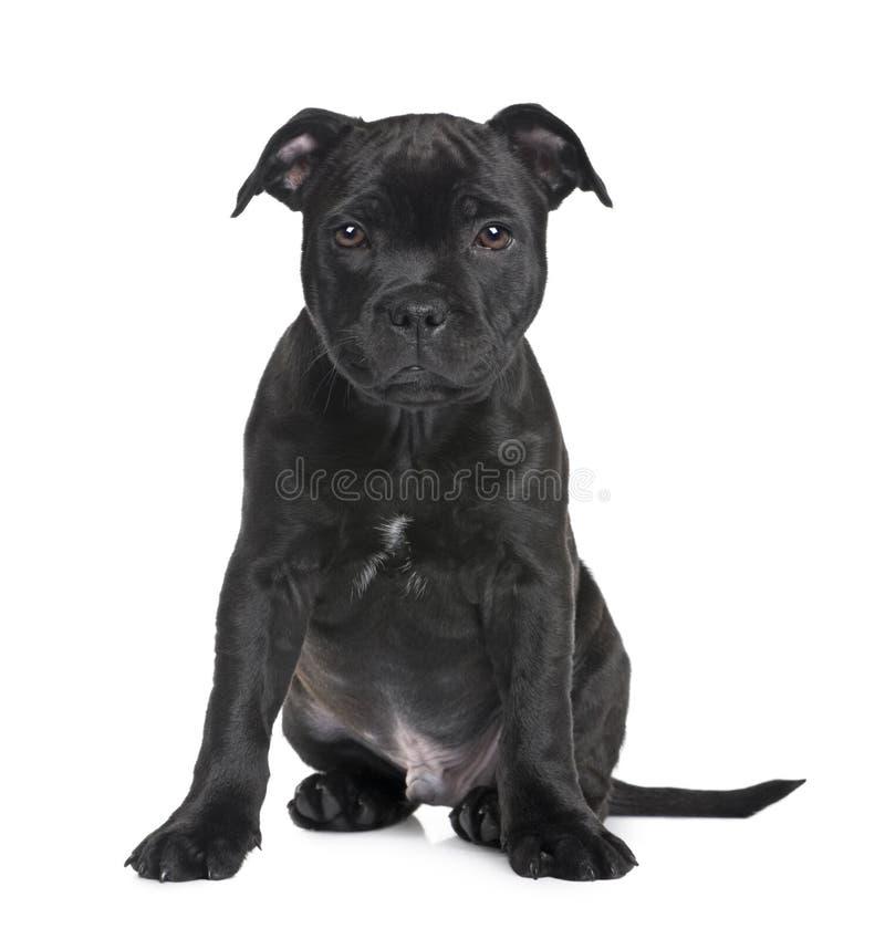 chien terrier du Staffordshire de chiot de 2 mois de taureau images libres de droits