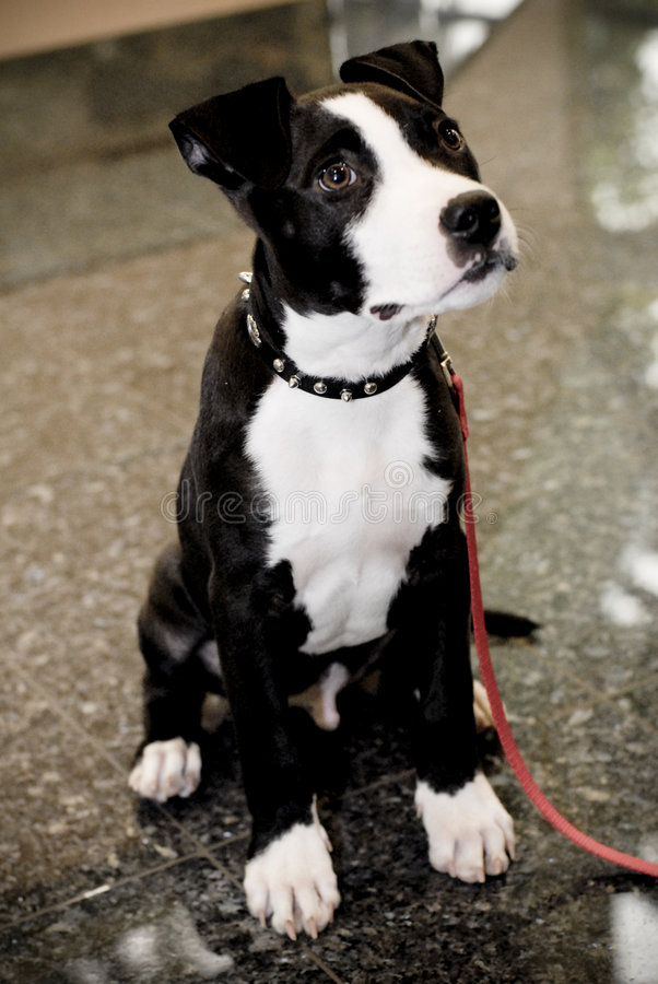 chien terrier du Staffordshire de taureau photos libres de droits