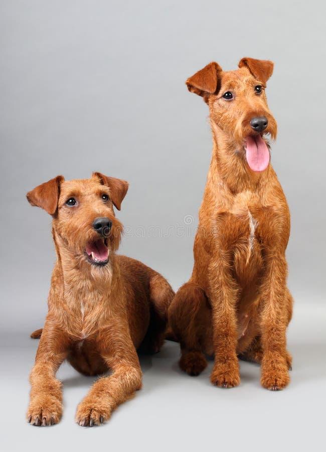Chien terrier irlandais image libre de droits