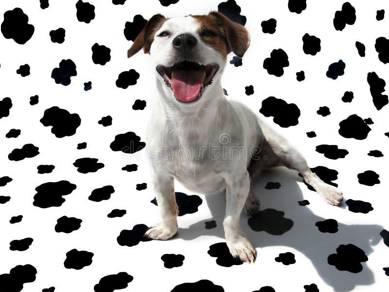 Chien terrier JRT de Jack Russell sur la toile de vache image libre de droits