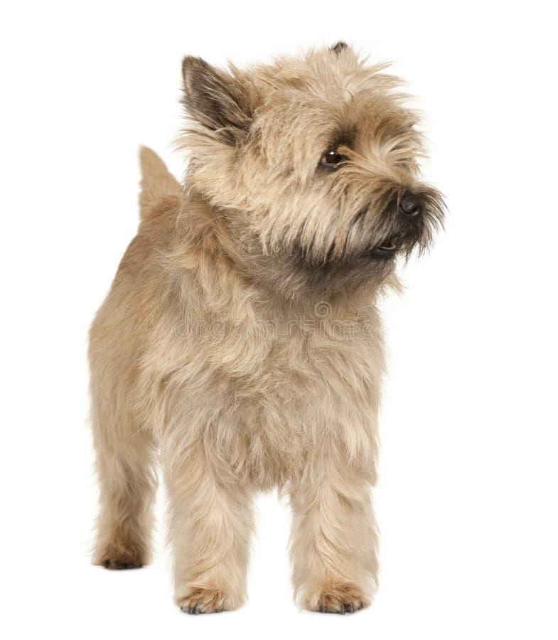 Chien terrier, position et regard de cairn loin image stock
