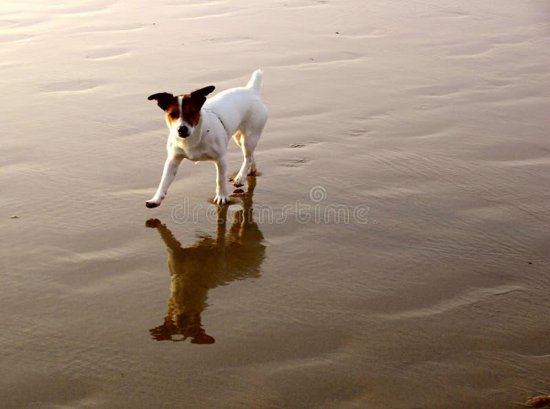 Chien terrier sur la plage images libres de droits