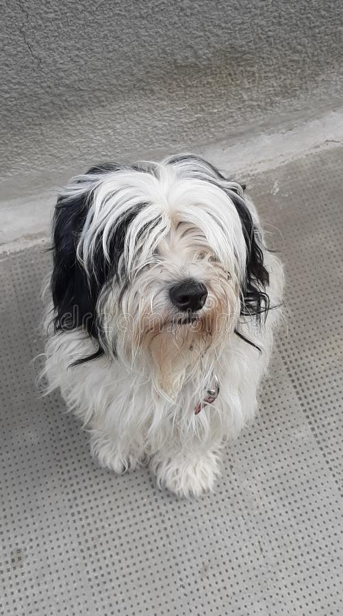 Chien terrier tib?tain photo libre de droits