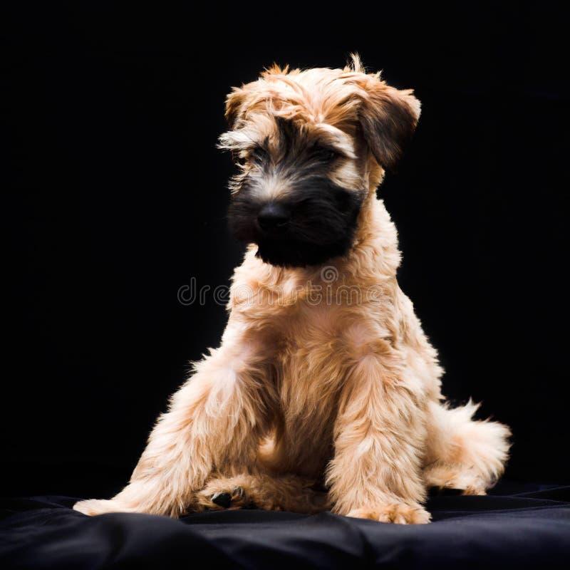 Chien terrier wheaten enduit mou irlandais image libre de droits