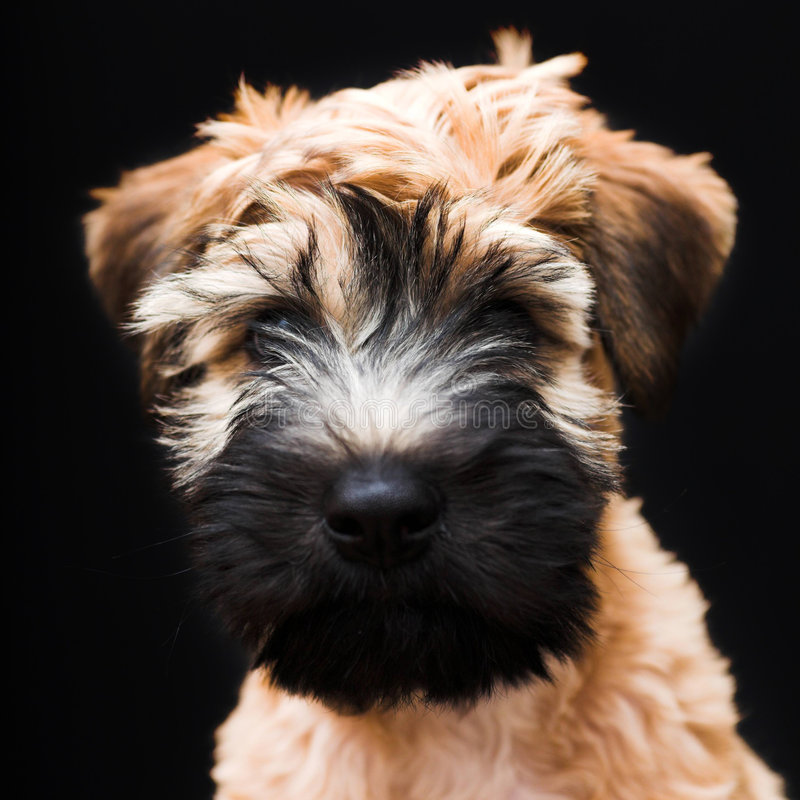 Chien terrier wheaten enduit mou irlandais photos stock