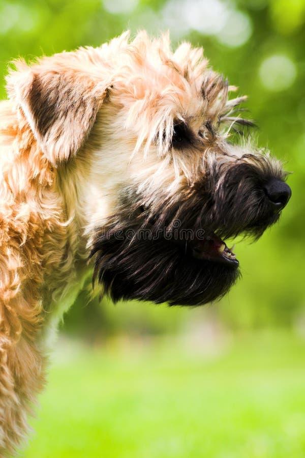 Chien terrier wheaten enduit mou irlandais photographie stock libre de droits