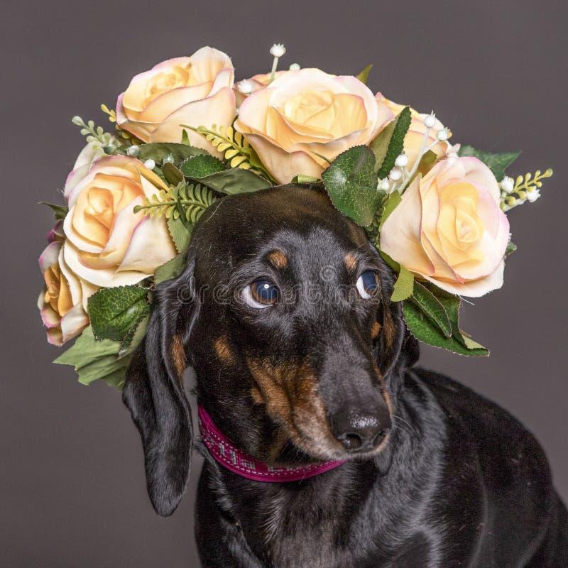 Chien timide de basset allemand dans une couronne de fleur images libres de droits