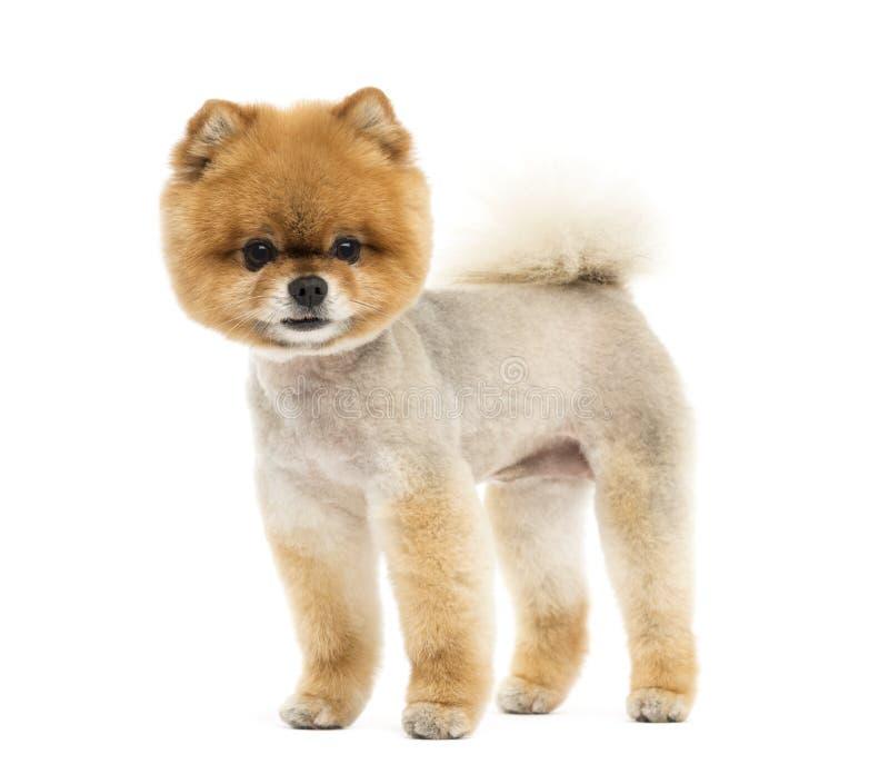 Chien toiletté de Pomeranian tenant et regardant l'appareil-photo photos libres de droits