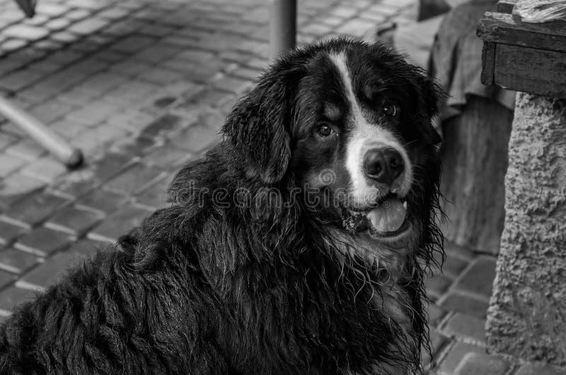 Chien trempé par la pluie de Berner Sennenhund pendant une promenade sur la rue images stock