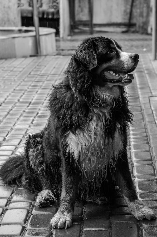 Chien trempé par la pluie de Berner Sennenhund pendant une promenade sur la rue photo libre de droits