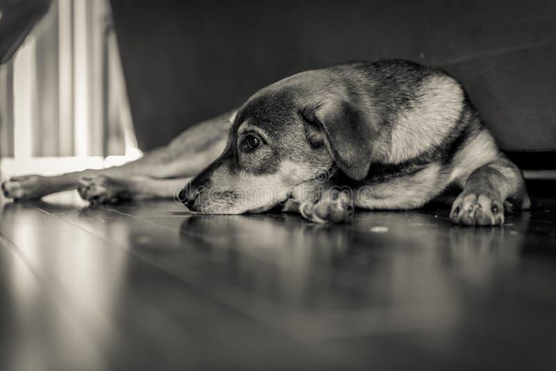 Chien triste s'étendant sur le plancher photographie stock