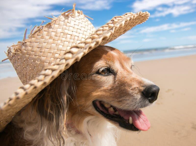 Chien utilisant un chapeau du soleil de paille à la plage image stock