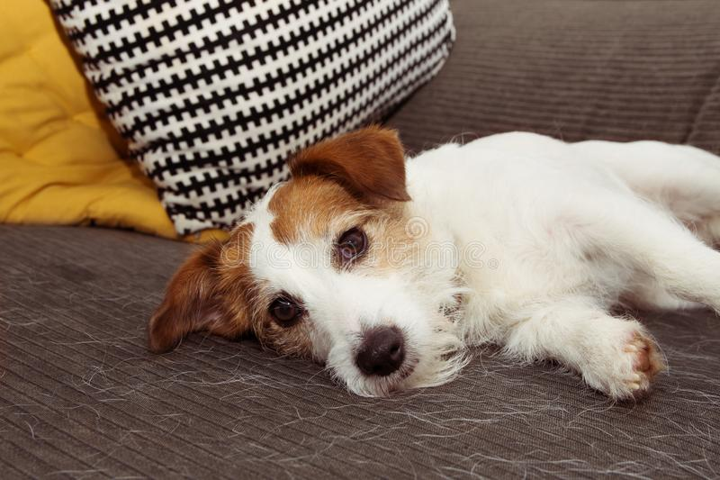 Chien velu de Russell de cric pendant la saison de cheveux de rejet ou de mue se reposant sur des meubles de sofa photographie stock libre de droits