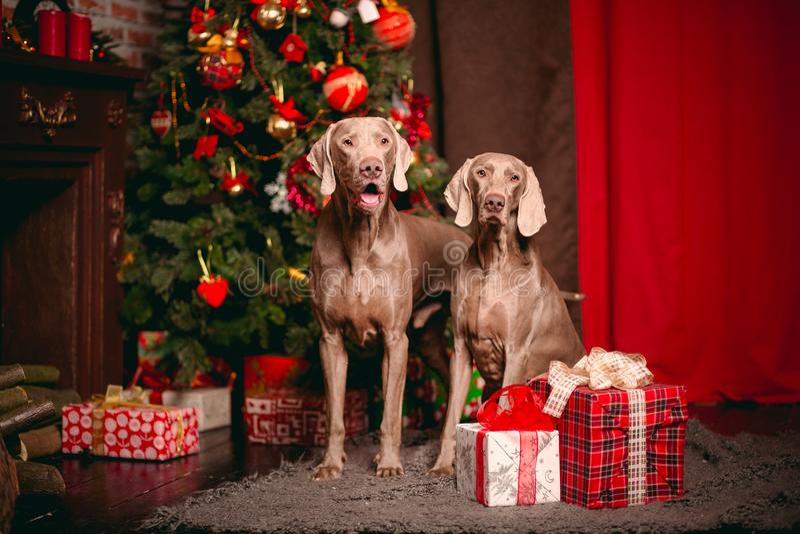 Chien Weimaraner de deux Grey Party pendant l'année de ney de décorations de Noël images libres de droits