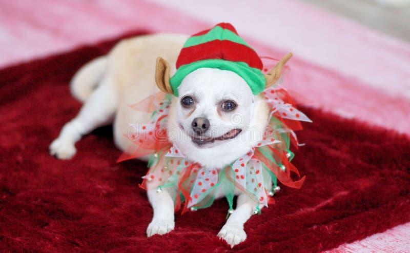 Chienchien dans l'équipement de Noël photo libre de droits