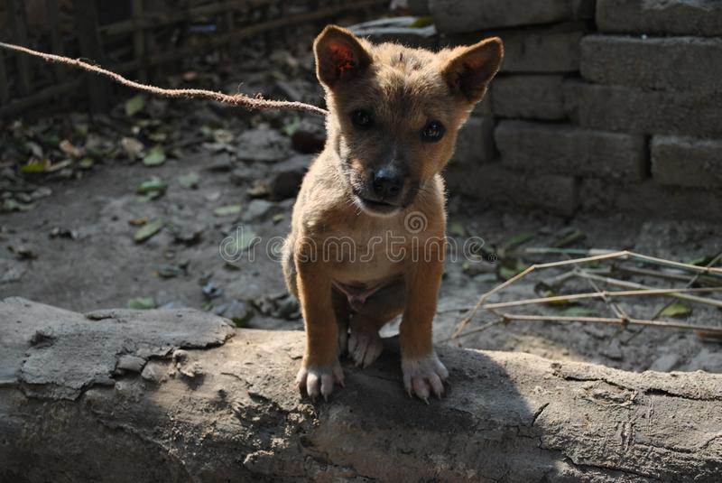 Chienchien indien mignon photo stock
