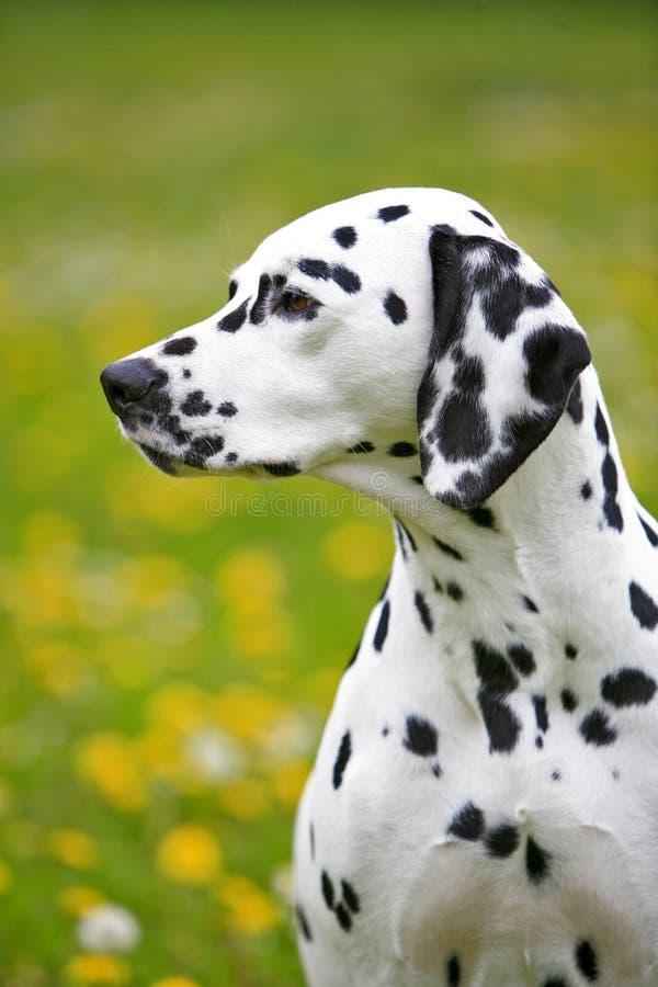 Chienne dalmatienne se reposant sur le pré fleurissant images stock