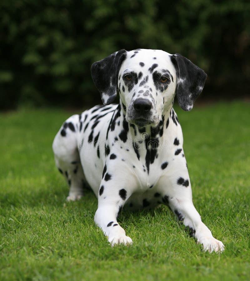 Chienne dalmatienne se situant dans les gras photos stock