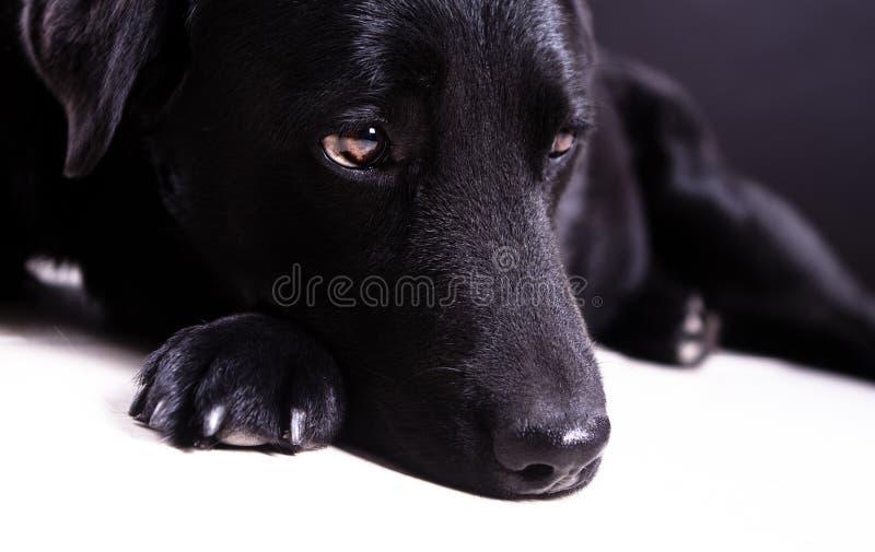 Chienne noire de Labrador avec les yeux bruns image stock