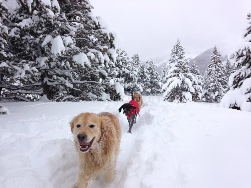 Chiens appréciant la neige photo stock