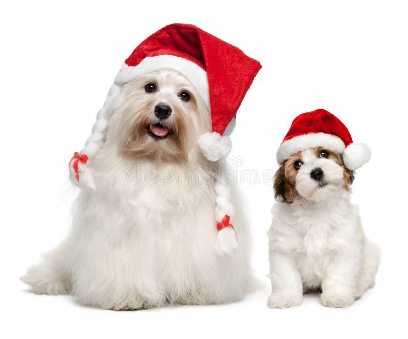 Chiens de Bichon Havanese de père et de fils dans des chapeaux de Noël photographie stock libre de droits