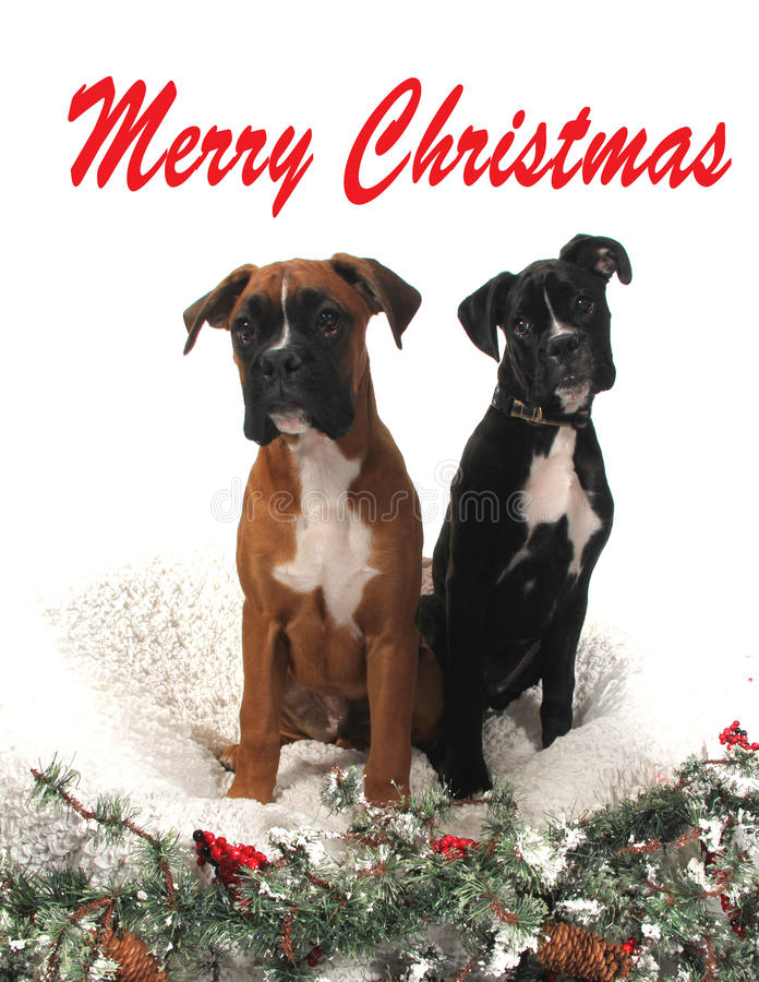 Chiens de boxeur de Noël photo stock