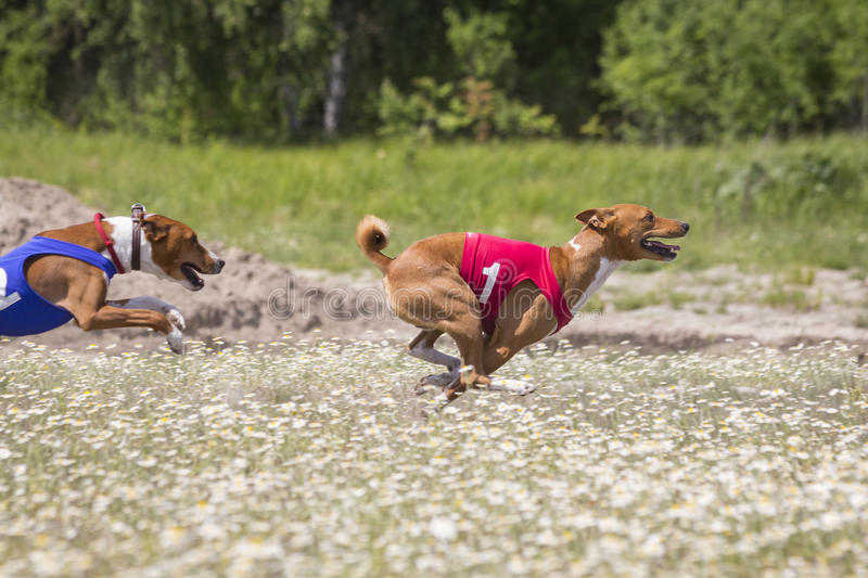 Chiens de concurrence courir Basenji image stock