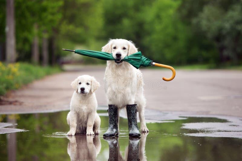 Chiens de golden retriever dans des bottes de pluie tenant un parapluie images stock