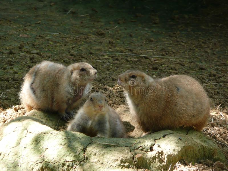 Chiens de prairie, San Antonio Zoo photos stock