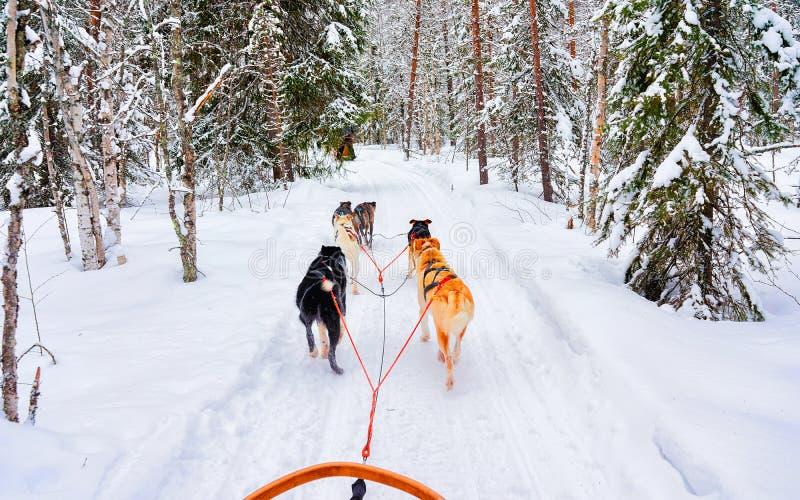 Chiens de race en traîneau dans le réflexe forestier de Rovaniemi image stock