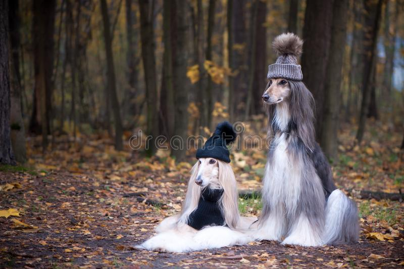 Chiens, deux drôles, chapeaux très mignons de lévriers afghans image stock