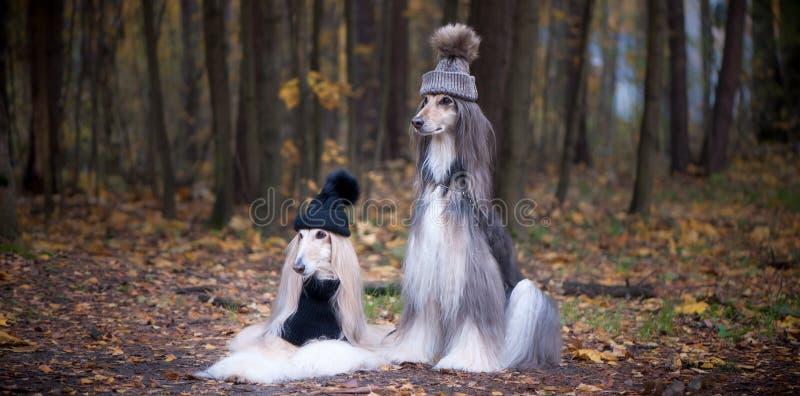Chiens, deux dr?les, chapeaux de l?vriers afghans et ?charpes tr?s mignons photo stock