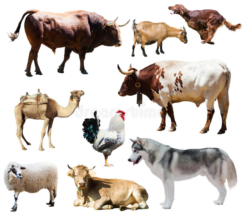Chiens et d'autres animaux de ferme D'isolement au-dessus du blanc photographie stock