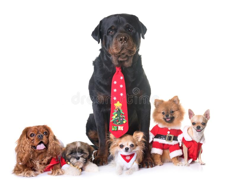 Chiens et Noël photographie stock libre de droits