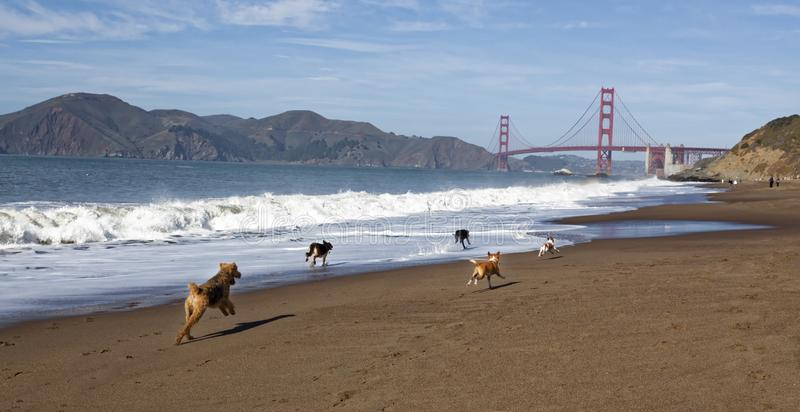 Chiens fonctionnant sur Baker Beach du ` s de San Francisco photos libres de droits
