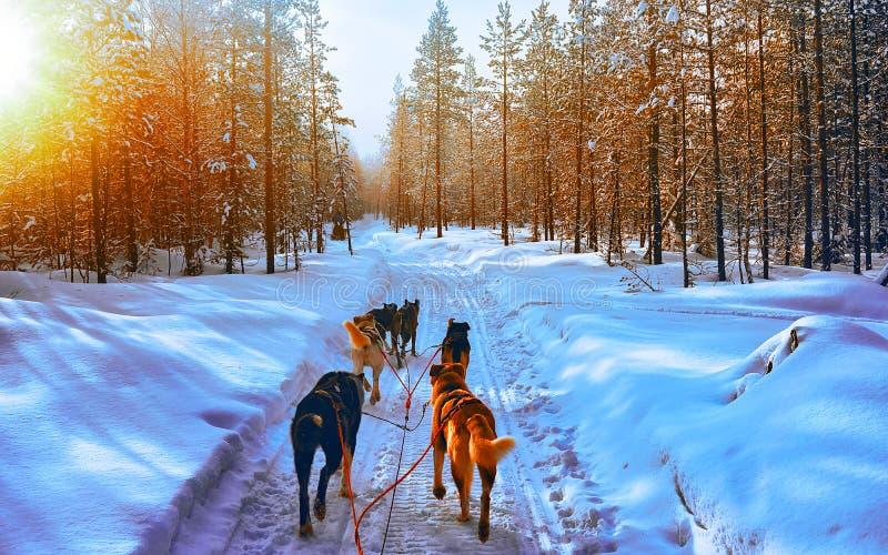 Chiens Husky dans une traînée à Rovaniemi en Finlande Réflexe de couchers de soleil en Laponie image libre de droits