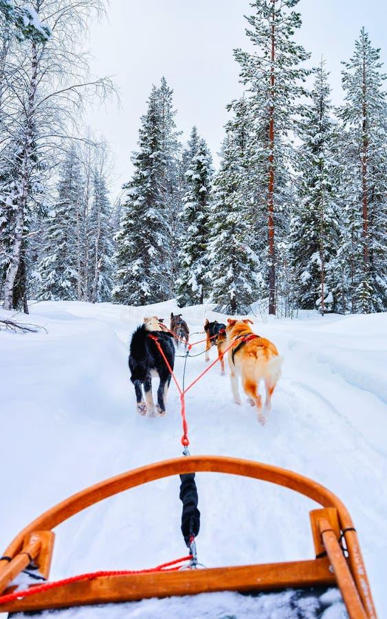 Chiens Husky en traîneau au réflexe forestier de Rovaniemi images stock