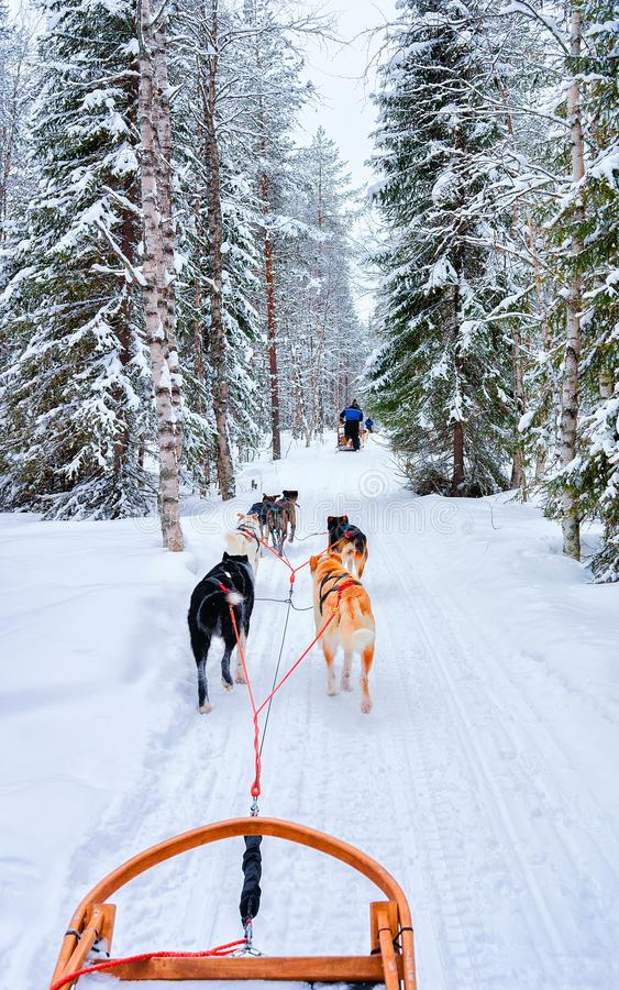 Chiens Husky en traîneau dans le réflexe forestier de Rovaniemi image stock