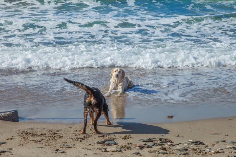 Chiens jouant dans l'eau par le bord de la mer photos libres de droits