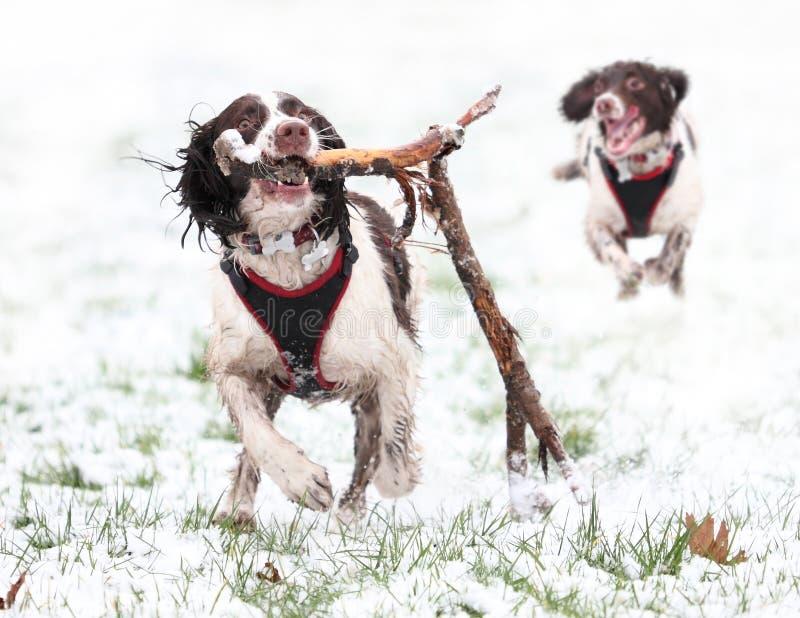 Chiens jouant dans la neige images stock