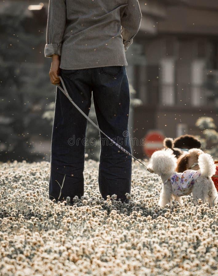 Chiens jouant en parc avec leur propriétaire tandis que le pollen de fleur volent dans le ciel qui pourrait déclencher l'allergie photo stock